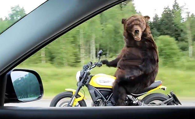 081515-weekend-awesome-bear-ducati-scrambler-f-633x388